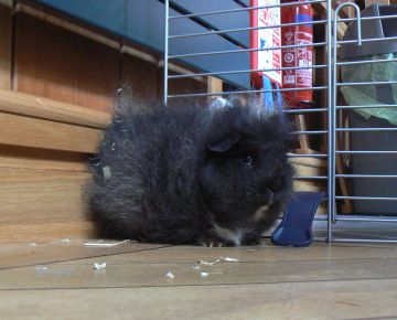 picture of our guinea pig