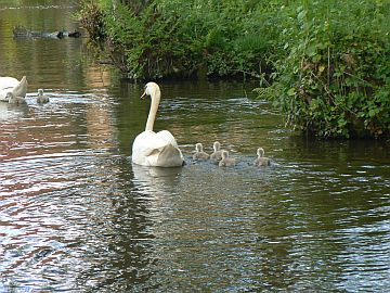photo of cygnets