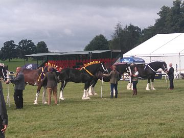 photo of shire horse judging